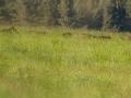 diviak lesný, 14.5.2013