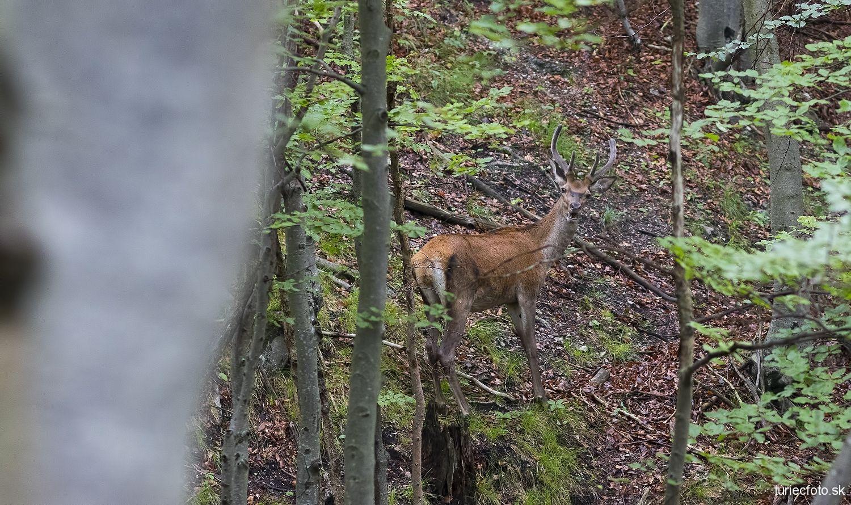 jeleň lesný, 15.7.2016
