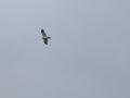 kaňa sivá, 22.4.2012, borová