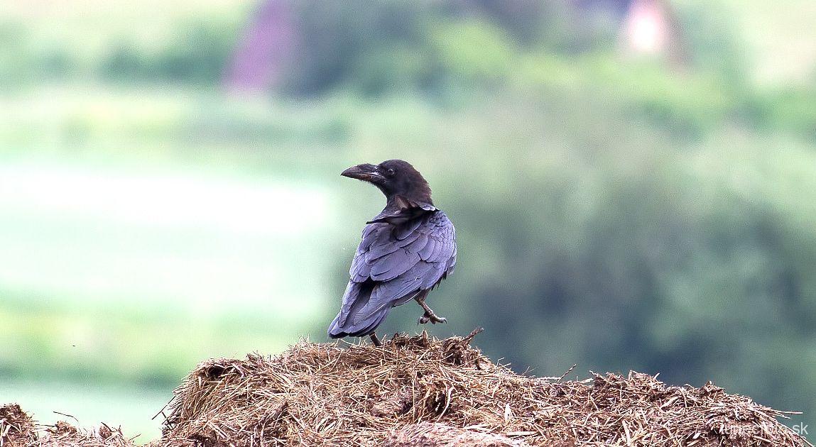 krkavec čierny