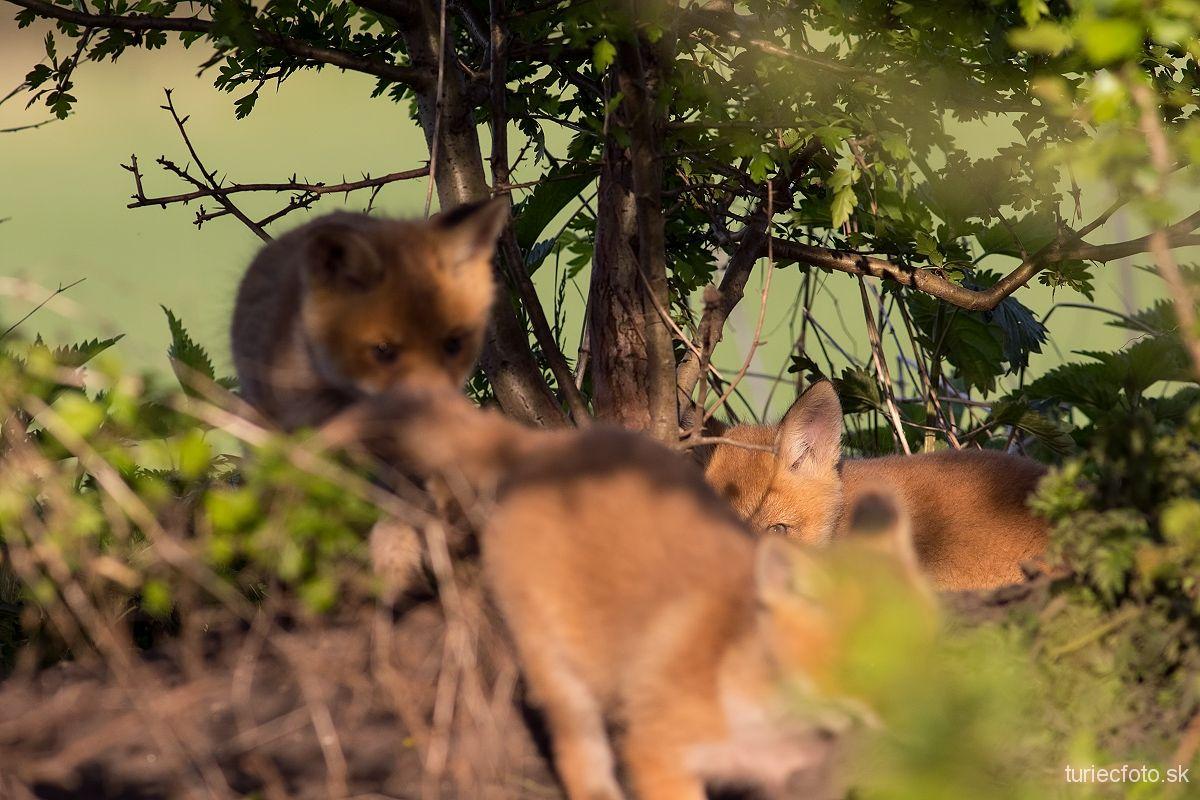 malé líščatá