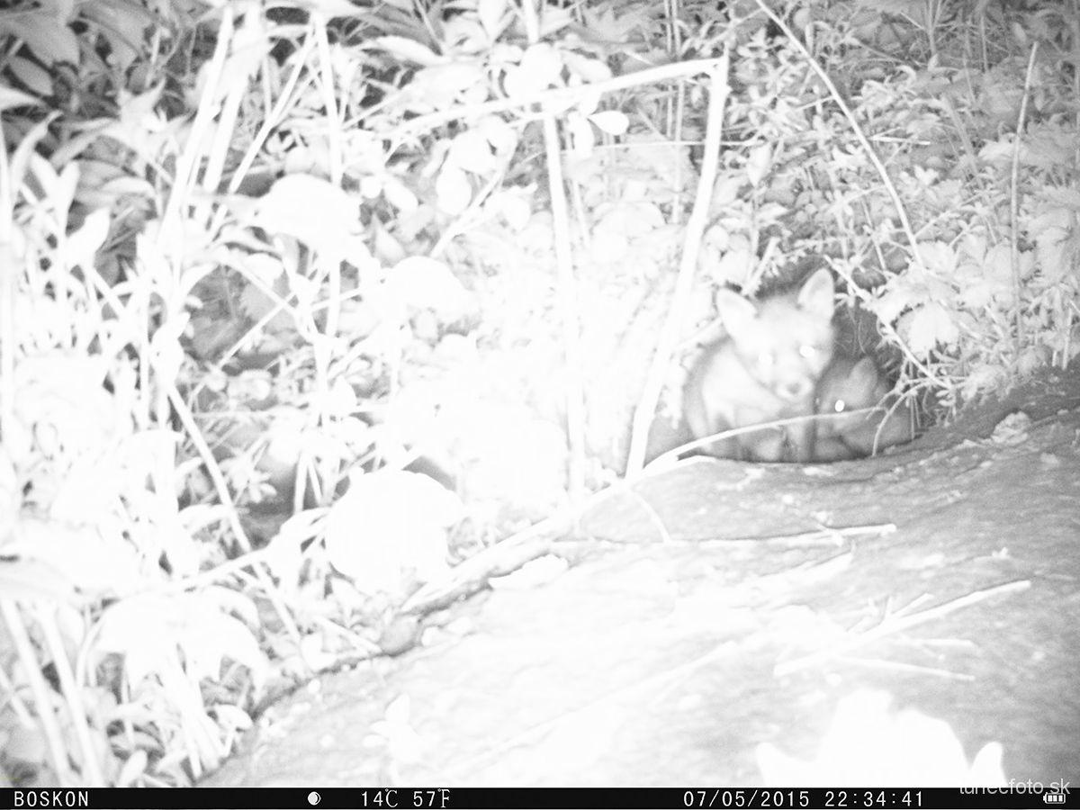 fotopasca - zvedavé líščatá, 7.5.2015