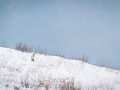 líška hrdzavá, zima 2014