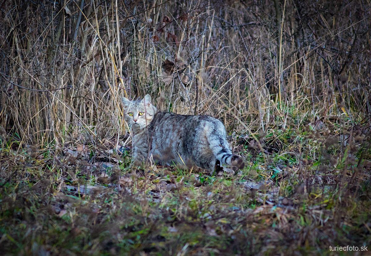 mačka divá, 17.12.2017