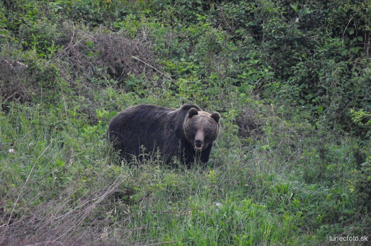 medveď hnedý, 31.5.2017, turčianske kľačany