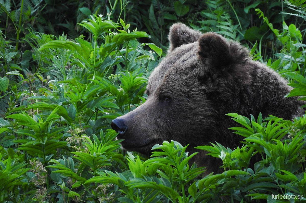 medveď hnedý, 11.6.2017, turčianske kľačany