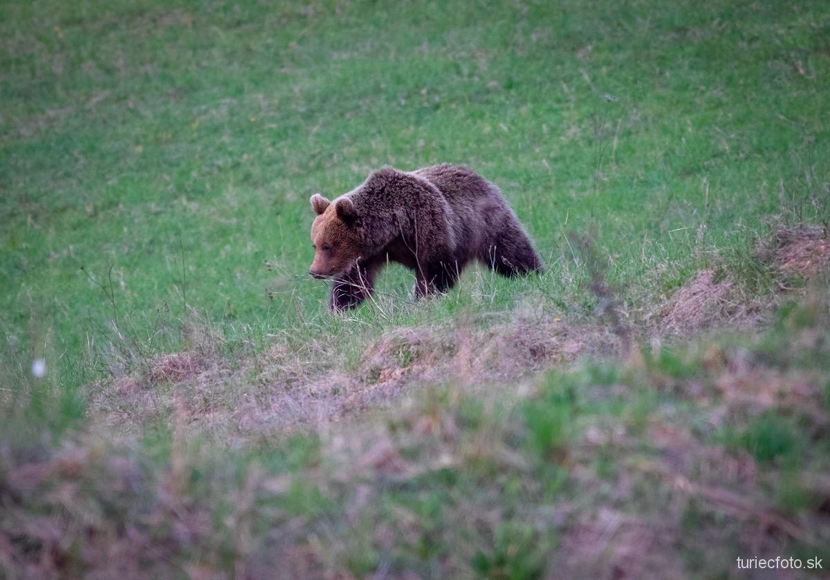 medveď hnedý, 21.4.2019