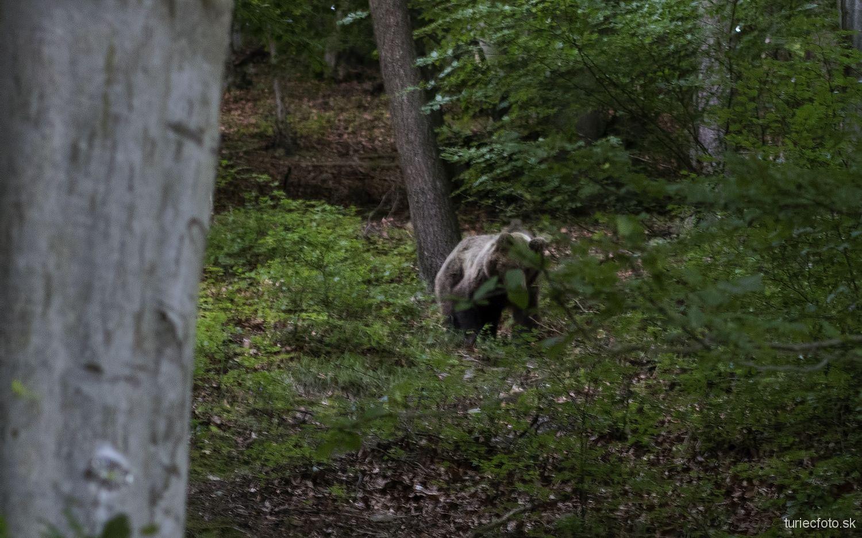 medveď hnedý, 18.6.2016, turčianske kľačany