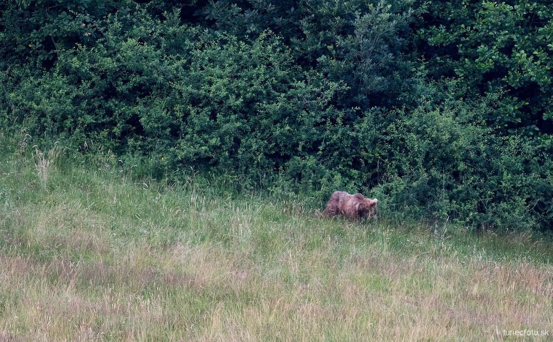medveď hnedý, 26.6.2015, turčianske kľačany