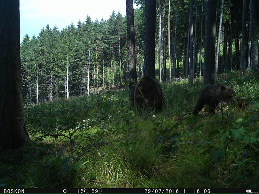 medvedica s mladým, 29.7.2016, VF, z fotopasce