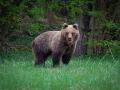 medveď hnedý, 27.4.2019