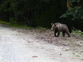 mladý medveď hnedý, 2.7.2016, malá fatra