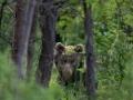 medveď hnedý, 11.6.2021