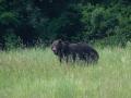 medveď hnedý, 20.6.2021, MF