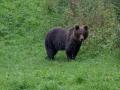 medveď hnedý, 19.8.2021, MF