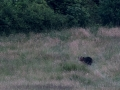 medveď hnedý, 24.6.2015, turčianske kľačany