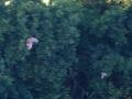 myšiarka ušatá, 19.6.2013, MT