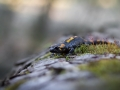 salamandra škvrnitá, 1.4.2017