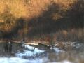 srnec lesný