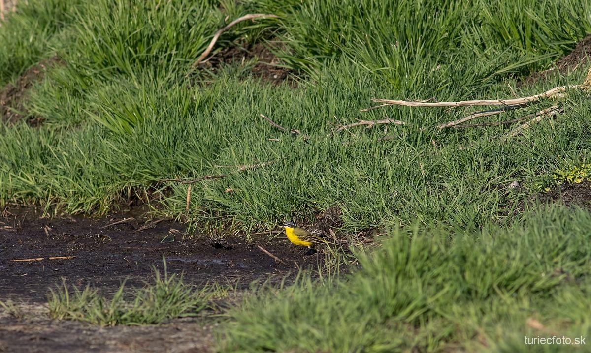 trasochvost žltý