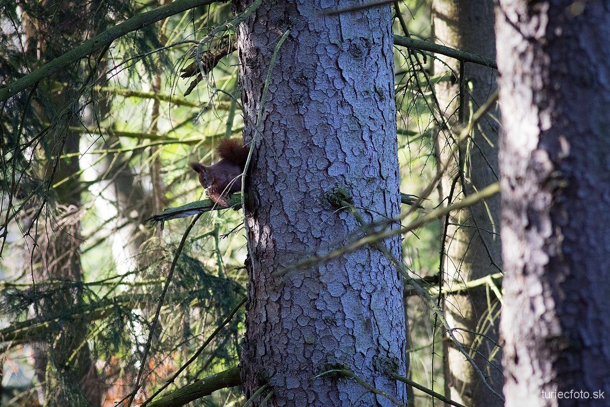 veverica stromová, 25.12.2017