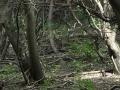 veverica stromová, 22.7.2013