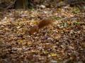 veverica stromová, 14.10.2013