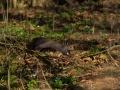 veverica stromova, 29.3.2014, folkušová