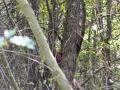 veverica stromová, 26.9.2016