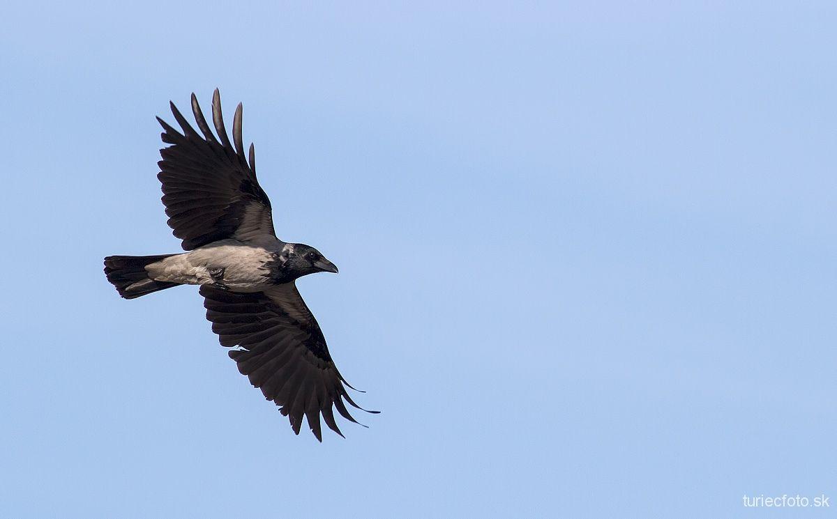 vrana popolavá
