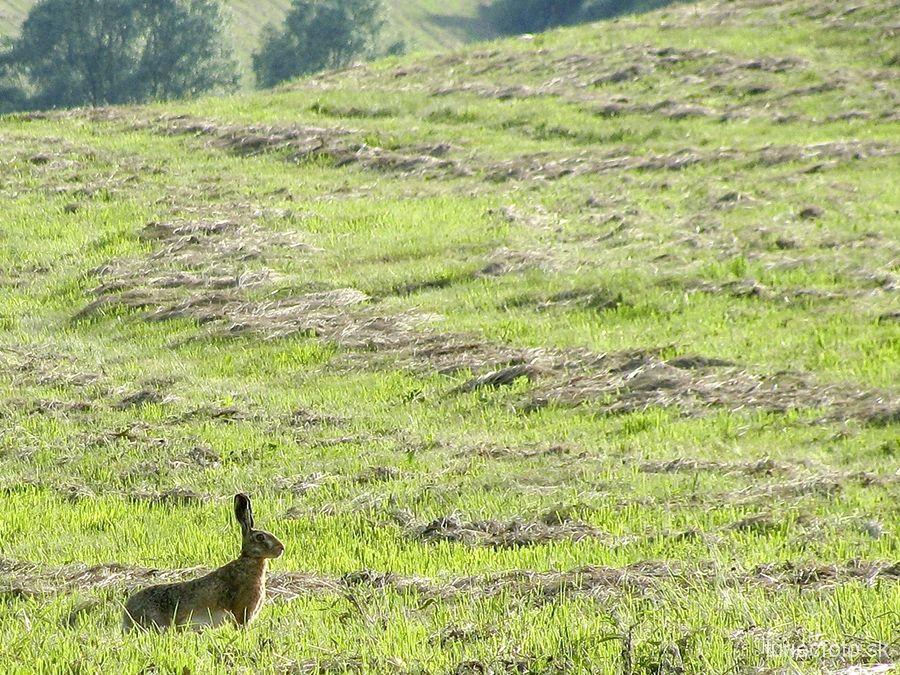 zajac poľný, 24.6.2012