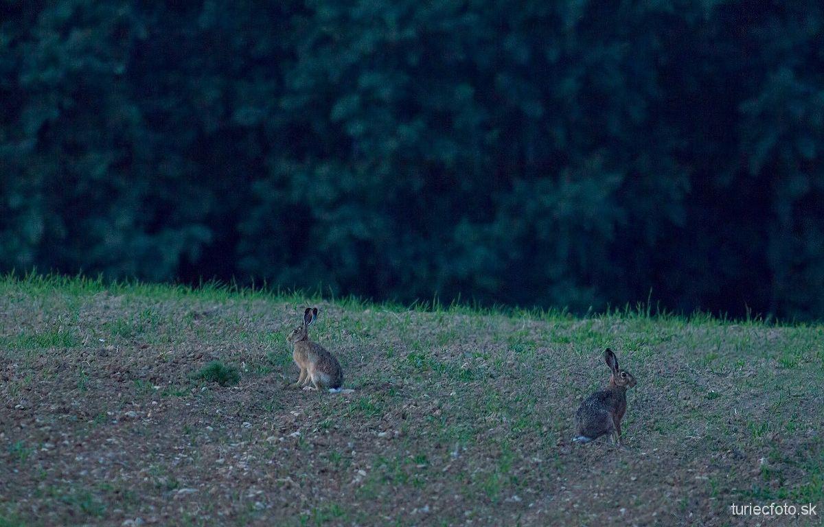 zajac poľný, 7.6.2014