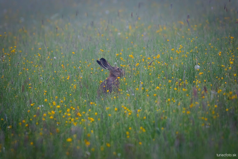 zajac poľný, 25.5.2019, MT