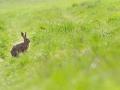 zajac poľný, 25.4.2013