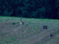 zajac poľný, 2014