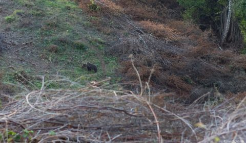 Medveď pred západom slnka