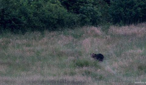 Medveď nafotený pod Mníšou dolinou, 2015