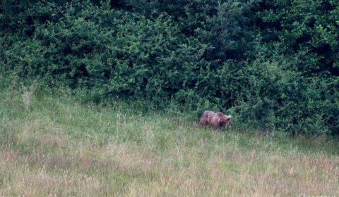 Medveď nafotený pod Mníšou dolinou, 2016