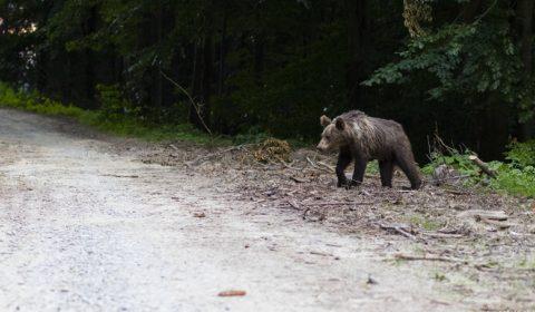 Medveď schádzajúci do dediny
