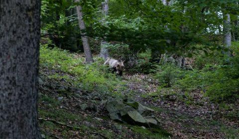 Medveď schádzajúc do dediny